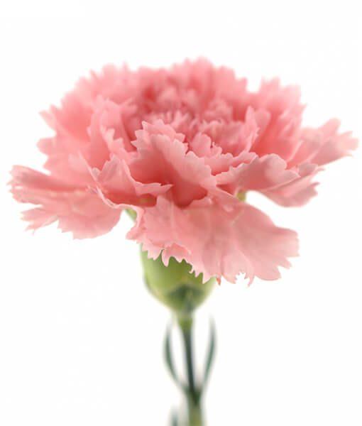 Skintas rožinis gvazdikas