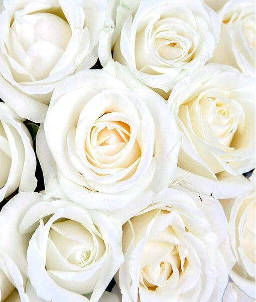 Baltu roziu puokste foto 3