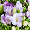 baltai violetines frezijos foto 3