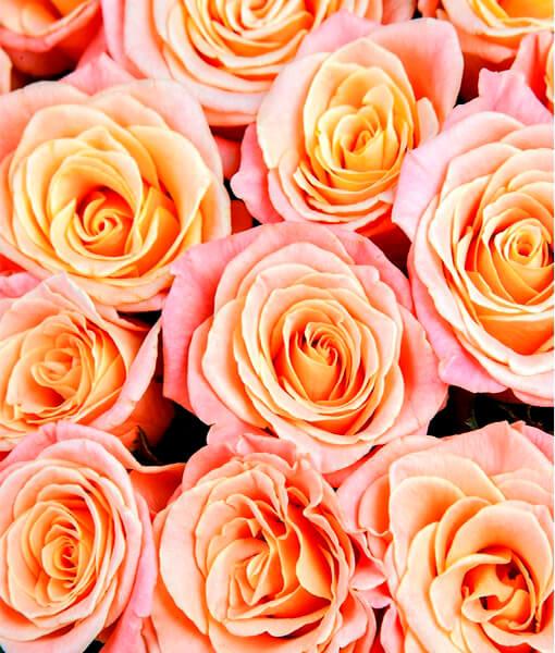 persikines rozes foto 3