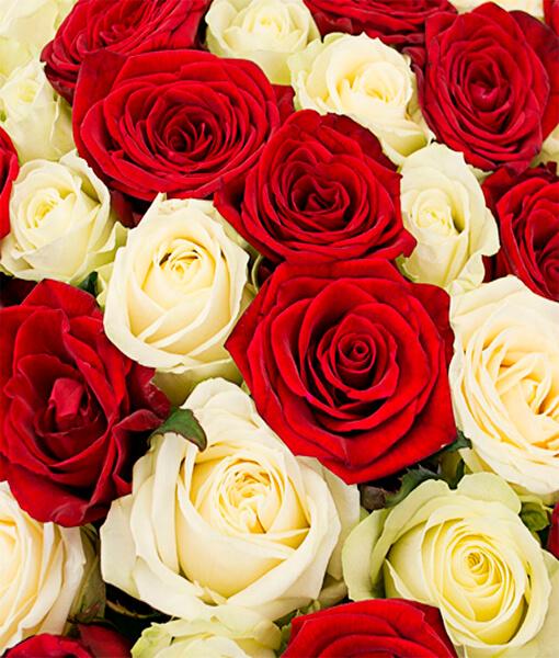 baltai raudonu roziu puokste foto 1