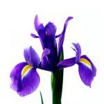 Skintas irisas melynas