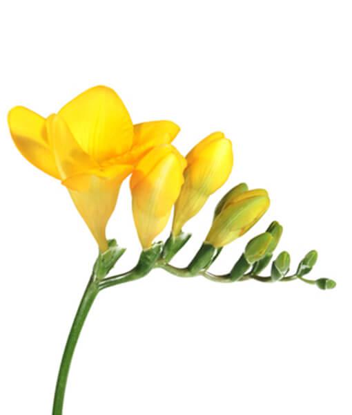 skintos frezijos geltonos