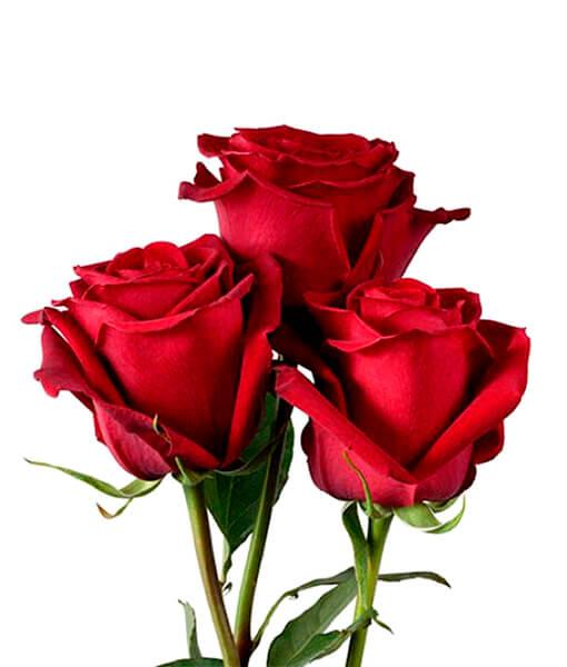 Raudona roze