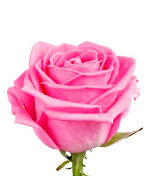 Rozine roze
