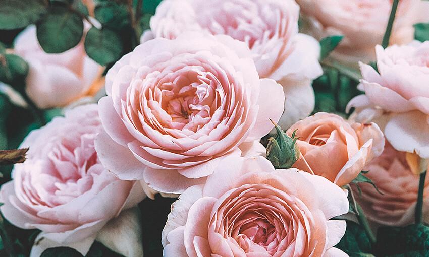 Sodo rožės